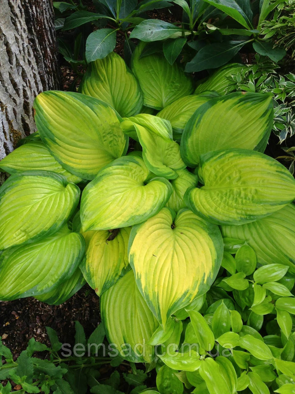 Hosta 'Stained Glass' ( Стайнед Гласс)