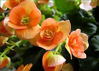 Бегония вечноцветущая (Begonia)