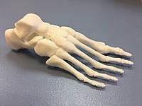 """Модель """"Скелет здоровой стопы"""" 14 смХ6смХ5см (цельная)"""
