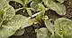 Семена свеклы Зеппо F1 (2.75-3.5) \ Zeppo RZ  25000 семян Rijk Zwaan, фото 3