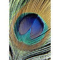 Фотокартина на холсте Перо павлина