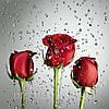 Фотокартина на холсте Розы на сером