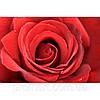 Фотокартина на холсте Большая роза