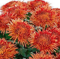 Крупноцветковая горшечная Сантош ред, фото 1