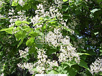 Катальпа шаровидная Nana D6-8 см