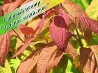 Спирея Макрофилла