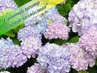 Гортензия садовая саженцы