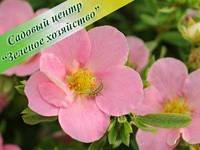 Лапчатка frutLovely Pink
