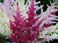 Цветы многолетники Астильба