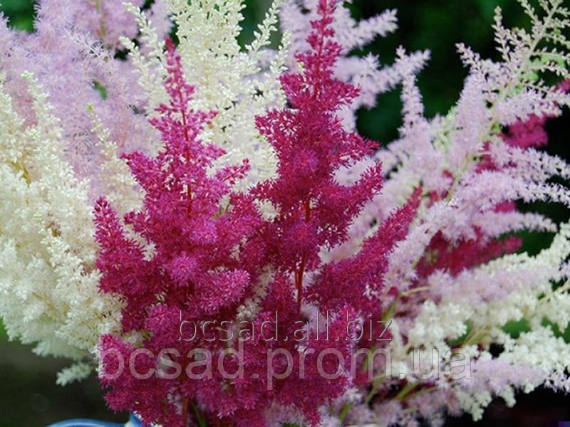 Цветы многолетники Астильба - Питомник декоративных растений в Белой Церкви