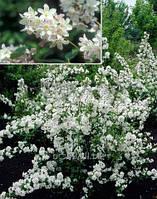 Дейция rosea Campanulata саженцы