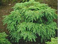 ТсугаКанадськая Саженцы растений высадить