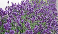 Лаванда Цветы саженцы