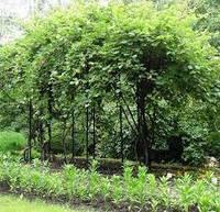 Актимидия Саженцы растений