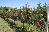 Яблоня Плодовые деревья
