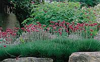 Армерия многолетние цветы