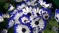 Цветы Цинерария Киев