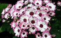 Цинерария для сада, садовые кусты, Киев, цветы для сада