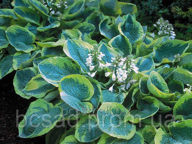 Хоста много сортов - Питомник декоративных растений в Белой Церкви