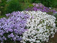 Флокс шиловидний цветы