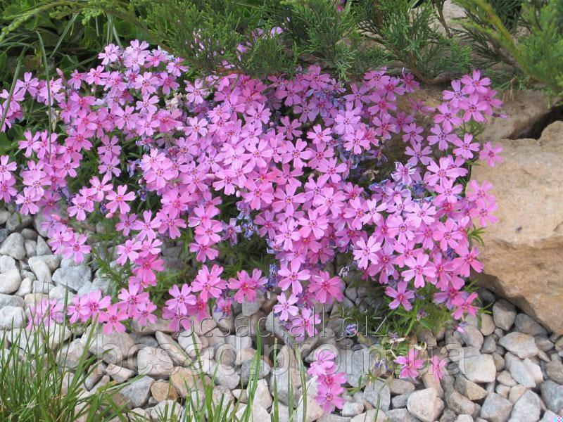 Цветы для озеленения Пион - Питомник декоративных растений в Белой Церкви