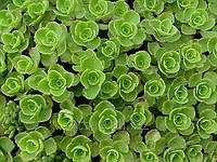 Седум Цветы и цветоводство