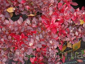 Барбарис средний Ред Джевел \ Berberis media Red Jewel  ( саженцы 2 года), фото 2