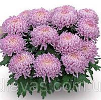 Хризантема крупноцветковая ЛЯ РОЗ, фото 1