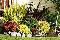 Барбарис Тунберга ( Микс 5 цветов 3х летка 1.5л)