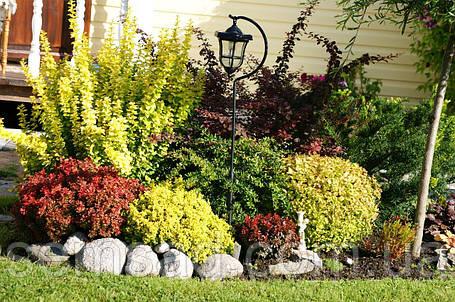 Барбарис Тунберга ( Микс 5 цветов 3х летка 1.5л), фото 2