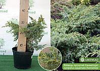 Можжевельник чешуйчатый Ханнеторп (Hunnetorp), 40-50 см