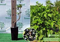 Смородина черная среднеспелая зимостойкая Оджебин, 30-50 см