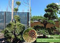 Сосна обыкновенная Бонсай Ниваки (Niwaki), 1,8-2,0 метра