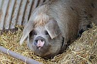 """БВД """"ШенПиг  Уни Фат ST UA"""" 15-10%(для свиней 35-120 кг)"""