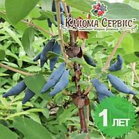 Саженцы жимолости сорт Голубое Веретено, в контенере P9