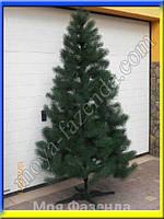 Сосна литая зеленая высотой от 100 до 250 см