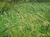 Семена травы Костёр (стоколос) для корма животным