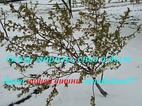 Вишневая елка или Апрельский снег в Украине
