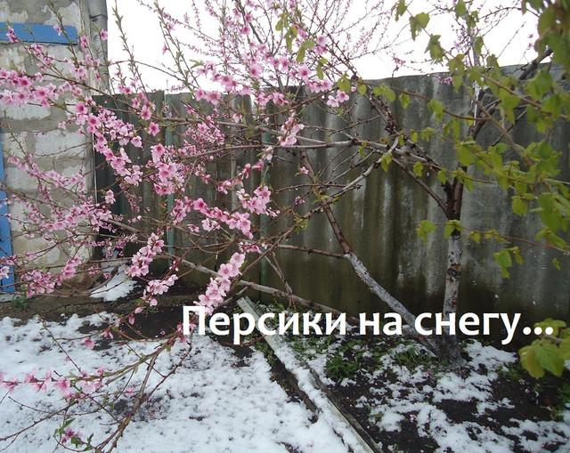 Персики на снегу