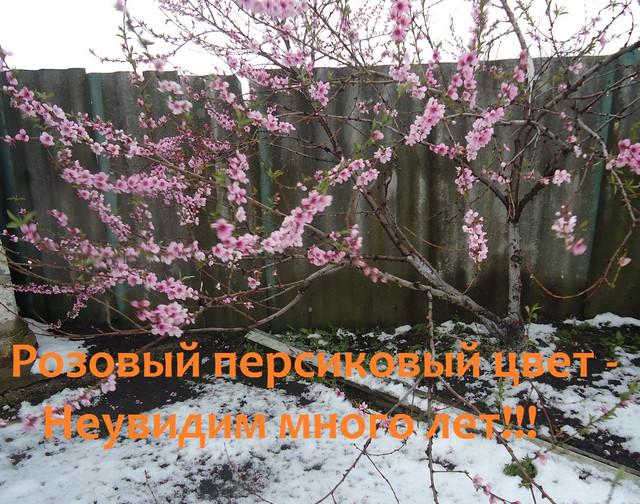 Персик в апреле со снегом