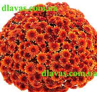Хризантема шарообразная АВАЛОН ОРАНЖ , фото 1