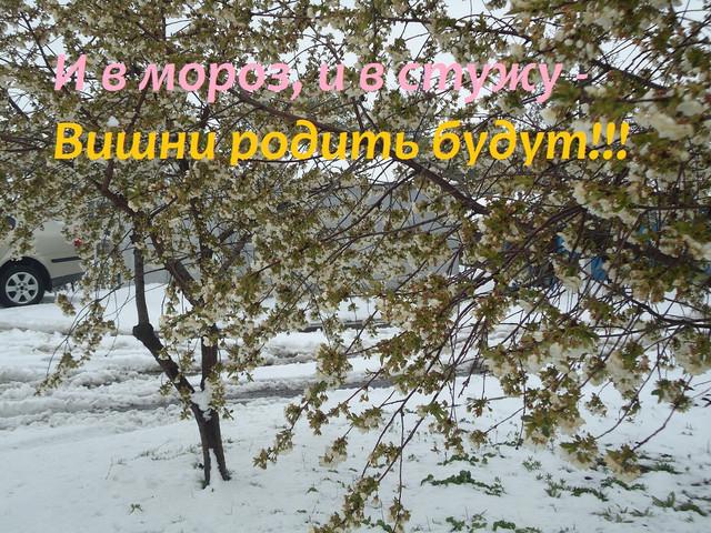 Зимняя Украинская Вишня