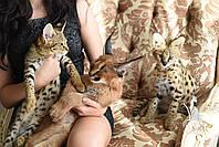 Аренда ручных котят сервала, каракала, саванны, бенгала
