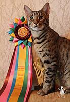 Саванна Ф5 - выпускник нашего питомника по имени Марсель, котёнок проживает в России , республика Карелия, город Надвоицы, в семье заводчика - Анны Ядзевичюс.   Котёнок рожден в питомнике Роял Кэтс.