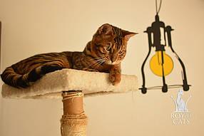 """Бенгал СБТ - Папперони, проживает проживает в семье Алины Харченко, Китай, город Гуанчжоу, является производителем питомника  """"Kings Cats Cattery""""."""