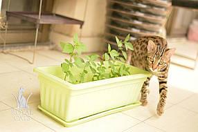 Бенгал Ф1 - выпускница питомника бенгальских и азиатских леопардовых кошек Royal Cats.