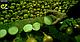 Семена лука Саманта F1 \ Samantha F1 250 000 семян Enza Zaden, фото 4