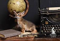 Девочка 1. Кошечка Чаузи Ф5 питомника Royal Cats