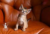 Девочка 2. Кошечка Чаузи Ф5 питомника Royal Cats