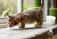 Мальчик 1. Котёнок Чаузи Ф5 питомника Royal Cats